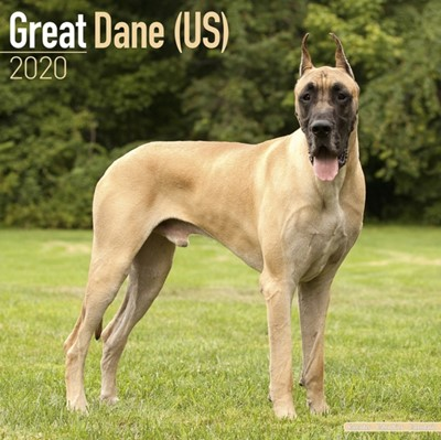 Great Dane (US) Calendar 2020 Avonside Publishing Ltd 9781785806131