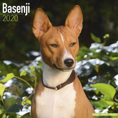 Basenji Calendar 2020 Avonside Publishing Ltd 9781785805622
