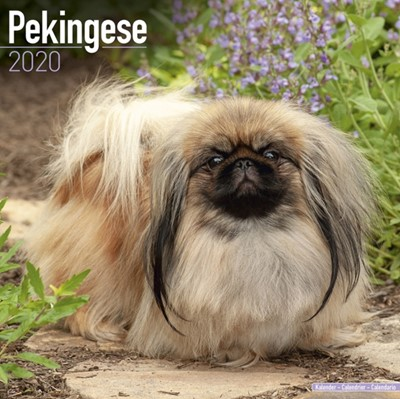 Pekingese Calendar 2020 Avonside Publishing Ltd 9781785806377