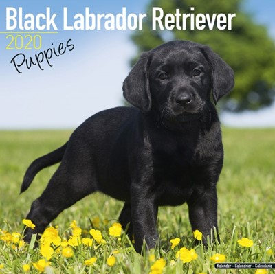 Black Labrador Retriever Puppies Calendar 2020 Avonside Publishing Ltd 9781785806773