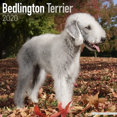 Bedlington Terrier Calendar 2020 Avonside Publishing Ltd 9781785805660