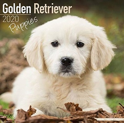 Golden Retriever Puppies Calendar 2020 Avonside Publishing Ltd 9781785806766