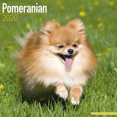 Pomeranian Calendar 2020 Avonside Publishing Ltd 9781785806391